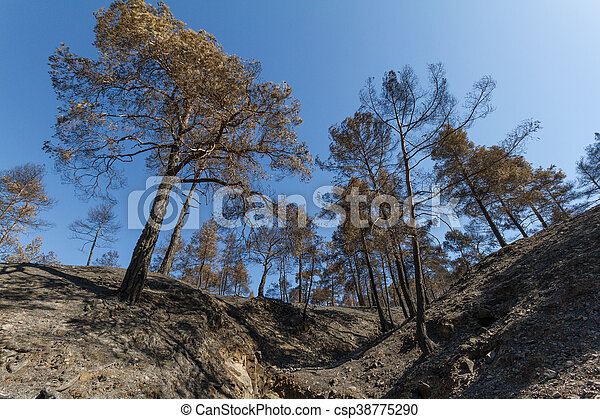 Burned pine trees following a forest fire in Troodos, Cyprus - csp38775290