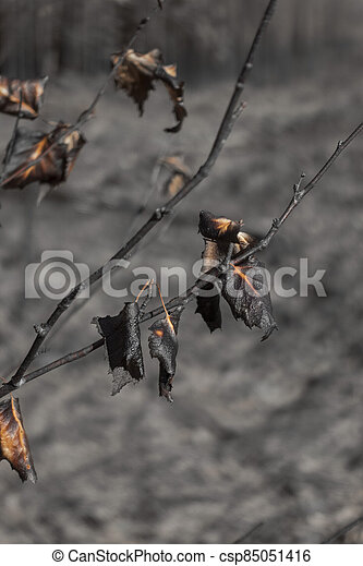 burnt leaves on small tree after forest fire - csp85051416