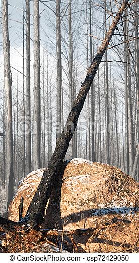 burnt tree in winter - csp72429050