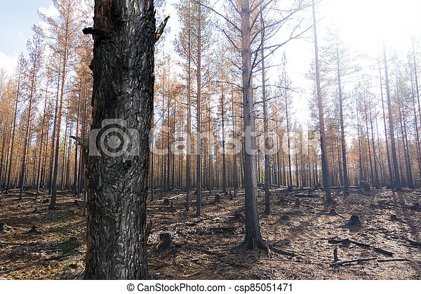 Burnt trees after forest fire - csp85051471