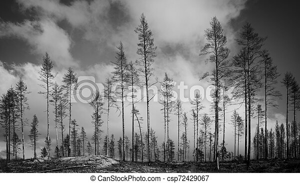 burnt trees after forest fire - csp72429067