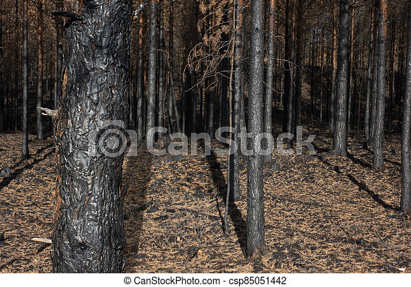 Burnt trees after forest fire - csp85051442