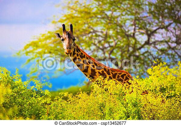 Jirafa en arbusto. Safari en Tsavo Oeste, Kenya, África - csp13452677