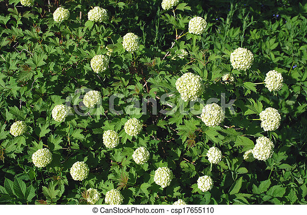 Bush blooming white hydrangea in the park in summer bush blooming white hydrangea csp17655110 mightylinksfo
