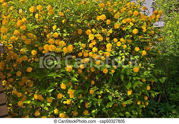 Bush blooming with yellow flowers bush blooming in garden with bush blooming with yellow flowers csp50327805 mightylinksfo