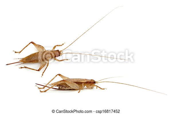 Bush Cricket - csp16817452