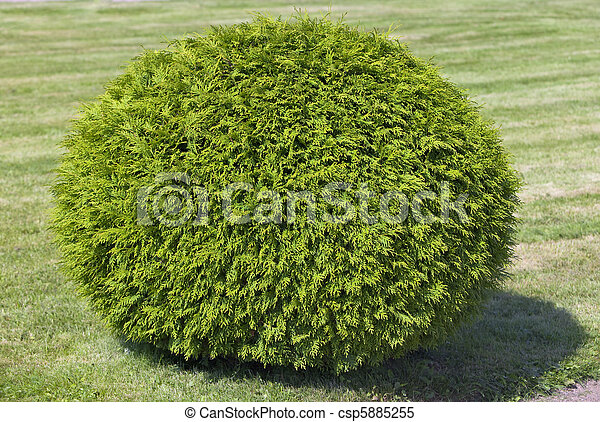 Bush of cypress, cut in the form of a  sphere - csp5885255
