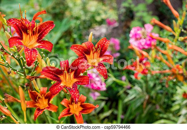 Bush of orange lilies in a summer garden - csp59794466