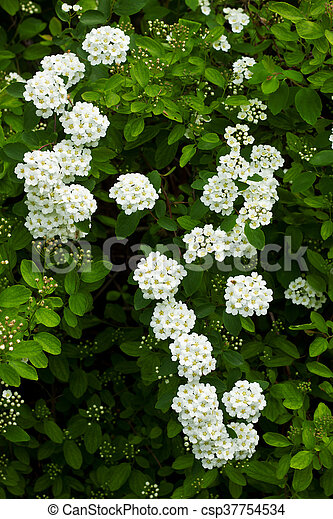 Bush of white flowers little green leaves and flowers bush of white flowers csp37754534 mightylinksfo