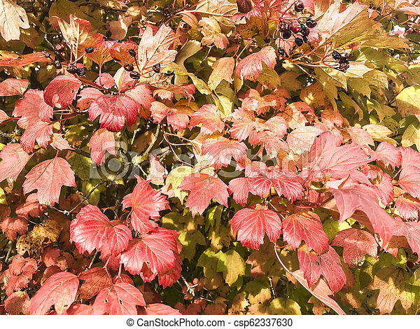 Bush with red autumn leaves - csp62337630