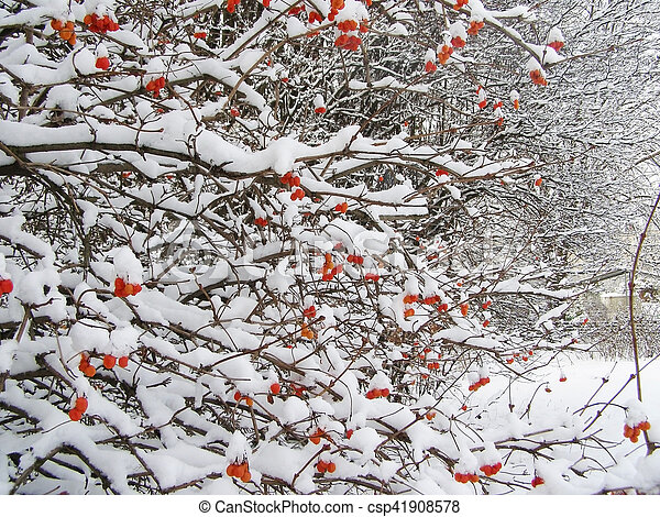 Bush With Red Berries In Winter Time
