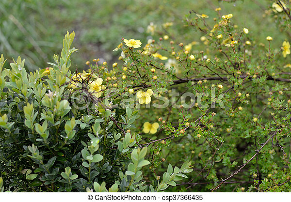 Bush with yellow flowers bush with small yellow flowers in spring time bush with yellow flowers csp37366435 mightylinksfo