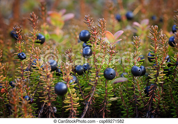 bushes/, beeren, crowberry. - csp69271582