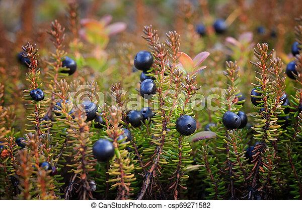 bushes/, beeren, crowberry. - csp69271582