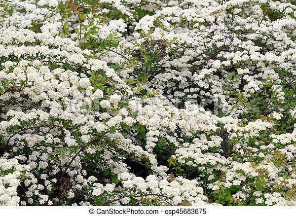 Bushes with white flowers bushes with white flowers may be used as bushes with white flowers csp45683675 mightylinksfo