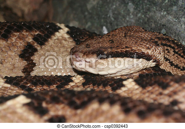 Bushmaster snake - csp0392443