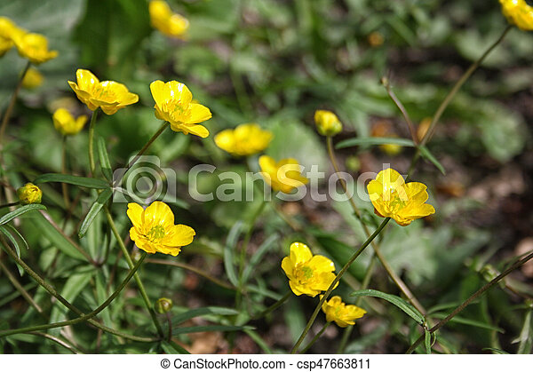 Buttercup yellow flower blooming in the spring in the woods buttercup yellow flower blooming in the spring csp47663811 mightylinksfo