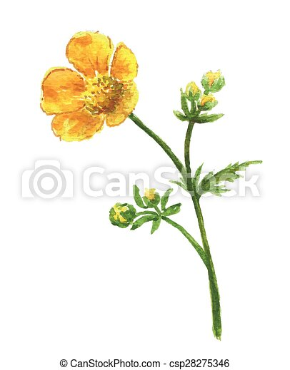 Buttercup yellow flower on white background watercolor floral buttercup yellow flower on white background watercolor floral illustration mightylinksfo