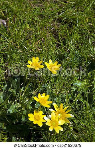 buttercups in a lush green garden lawn - csp21920679