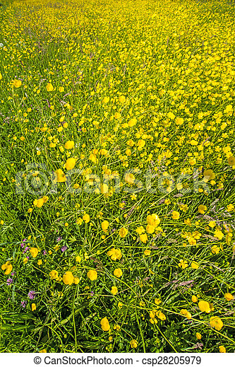 buttercups in a meadow - csp28205979