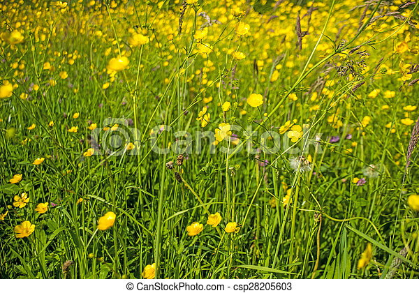 buttercups in a meadow - csp28205603