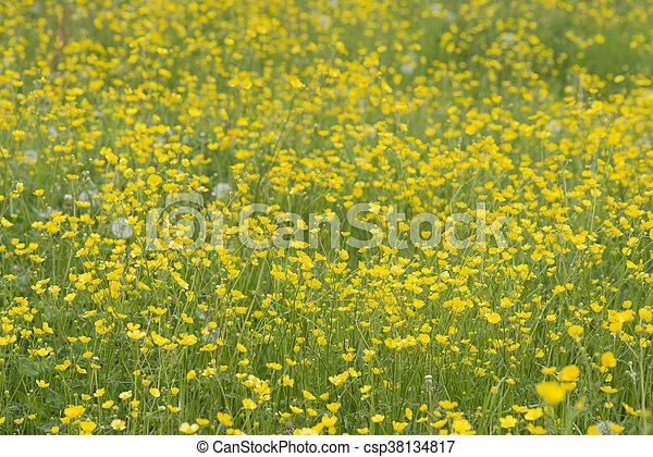 buttercups in field - csp38134817