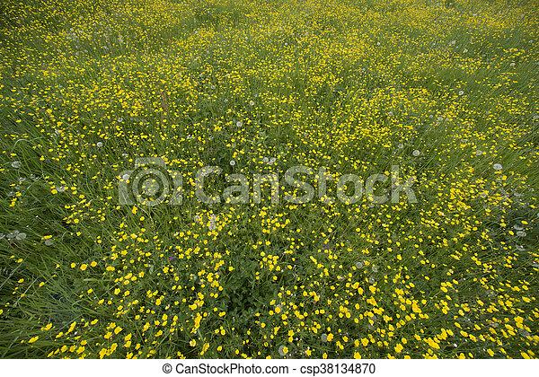 buttercups in field - csp38134870