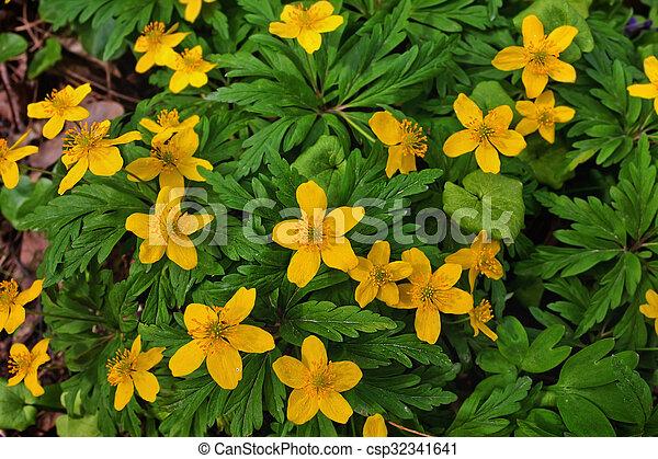 buttercups - csp32341641