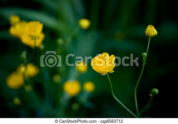 Buttercups - csp6563712