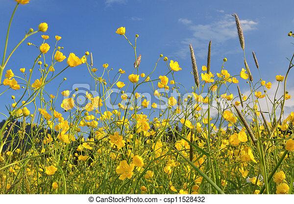 buttercups - csp11528432