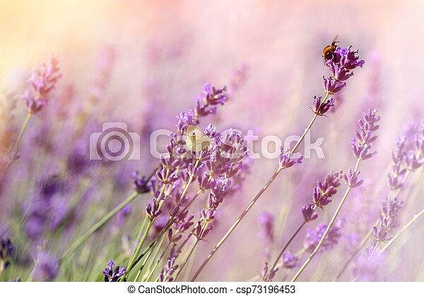 Butterfly and bee-bumblebee on lavender flower, selective focus on butterfly and bee-bumblebee - csp73196453