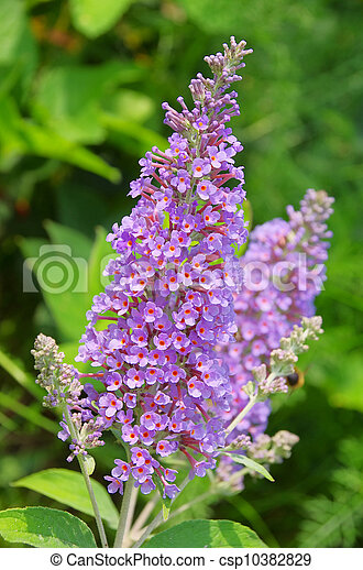 butterfly bush 04 - csp10382829