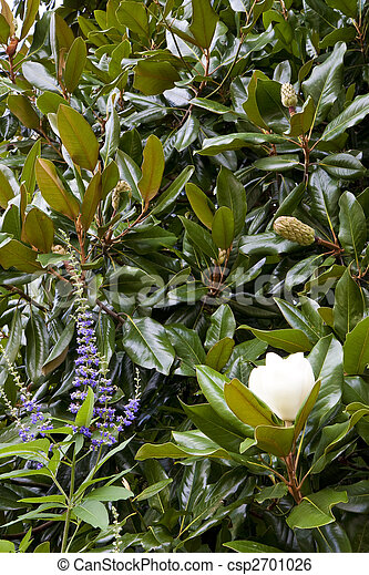 Butterfly Bush And Magnolias A Magnolia Tree And Butterfly Bush In