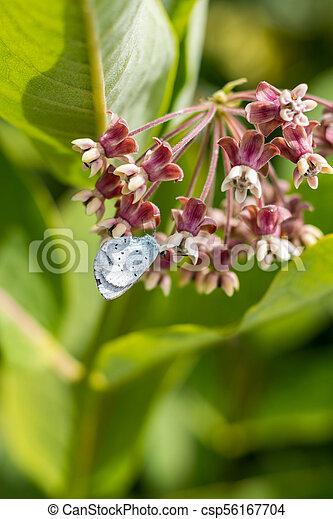 Butterfly feeding on milkweed - csp56167704