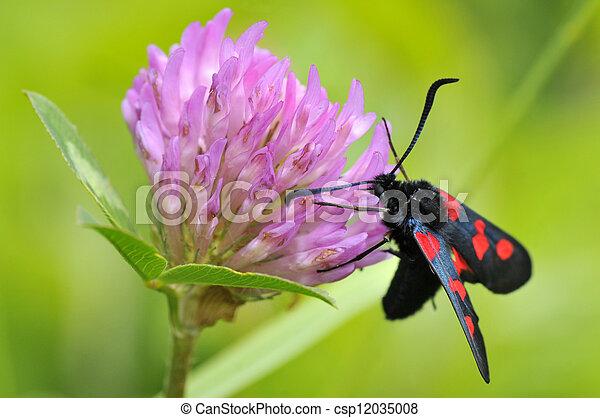 Butterfly Five-spot Burnet on clove - csp12035008