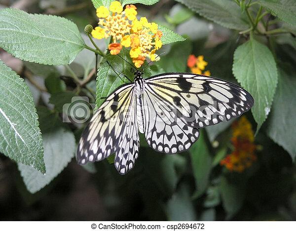 butterfly (idea leuconoe) - csp2694672