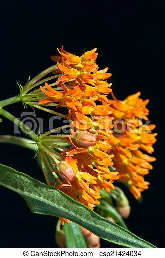 Butterfly Milkweed Against Black - csp21424034