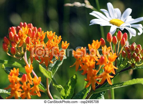 Butterfly Milkweed - csp2495708