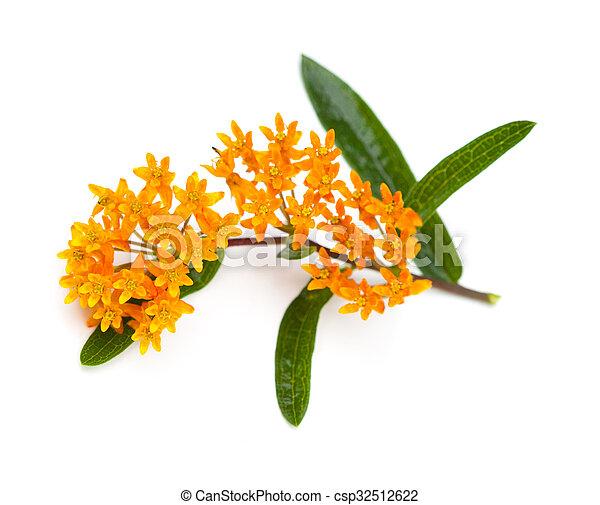 Butterfly Milkweed - csp32512622