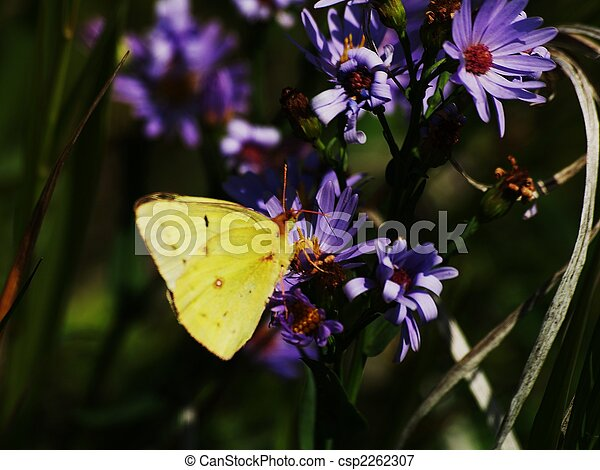 Butterfly on a Purple Daisey - csp2262307