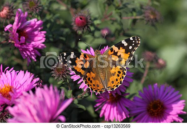 butterfly on flower - csp13263569