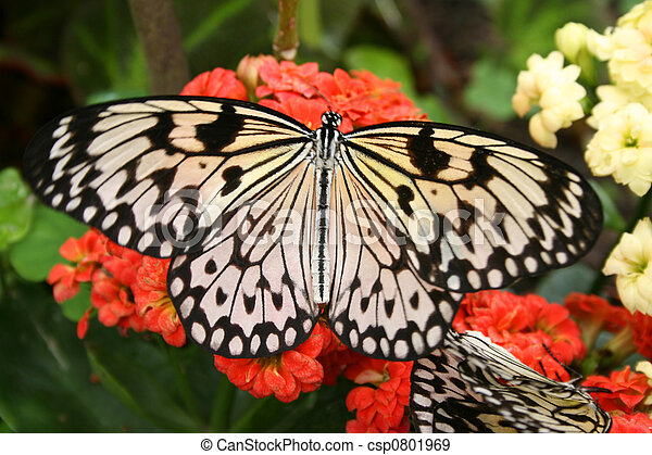 Butterfly on Flowers - csp0801969
