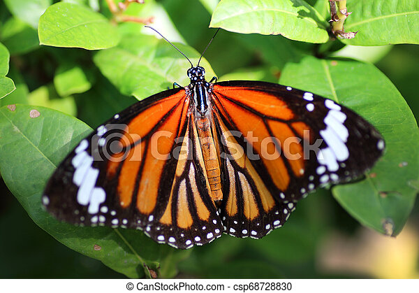 butterfly on green leaves background - csp68728830