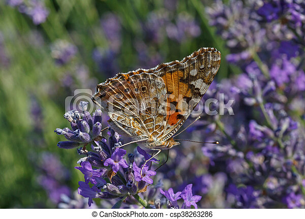 butterfly on lavender flower - csp38263286