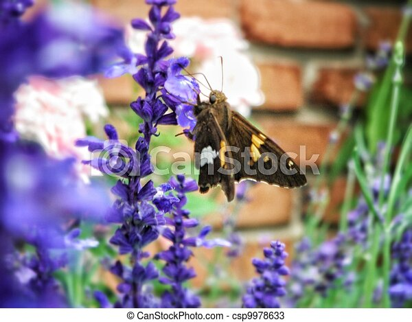 Butterfly on Lavender Flower - csp9978633