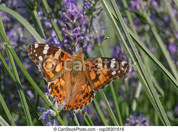 butterfly on lavender flowers - csp38301616