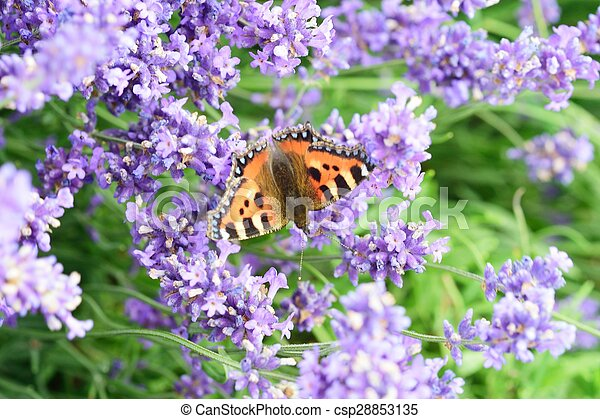 Butterfly on lavender flowers - csp28853135