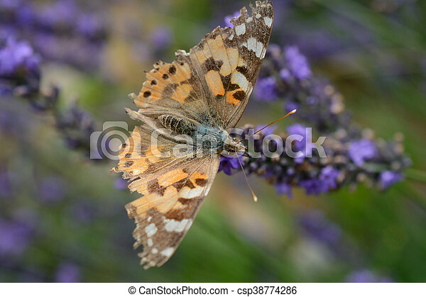 Butterfly on lavender - csp38774286