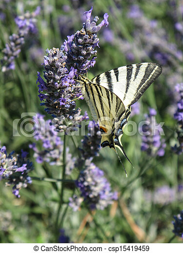 Butterfly on Lavender - csp15419459