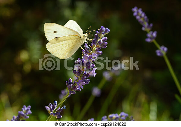 butterfly on lavender - csp29124822